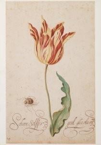 Bartholomeus Assteyn (1607-67)-Tulp met spin- Postkaart