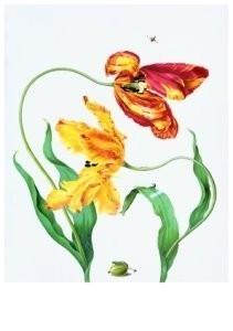 Maria Sybilla Merian(1647-1717-Gekweekte tulpe- Postkaart