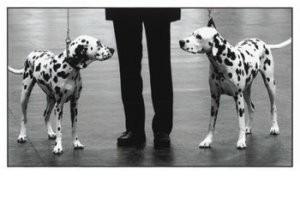 Wigglesworth, Kirsty -Dalmation Dogs- Postkaart