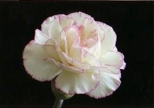 Marianne Cornelissen-Kuyt -Carnation- Postkaart