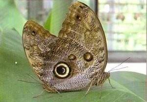 -Uilvlinder, Caligo eurilochus- Postkaart