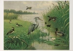 M.A. Koekkoek (1873-1944) -Water- en weidevogels- Postkaart