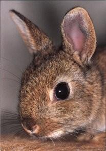 Ton van Wijlen -Wild konijn- Postkaart