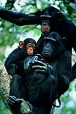 Karl Ammann -Chimps Stol.Cam- Postkaart