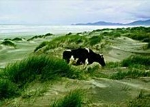 Francis Lake -Koe in de duinen- Postkaart