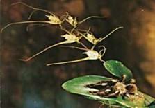 Jan Vermeer -Black spider on orchid- Postkaart