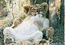 Paul van Gaalen(1948) -Leeuwenwelp, Sabi Sabi game reserve, Zuid-Afrika- Postkaart