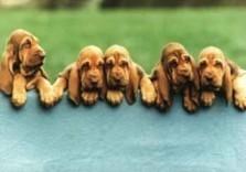 Mike Hollist -Bloodhound Pups, 1999- Postkaart
