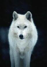 Ron Entius -Witte Wolf- Postkaart