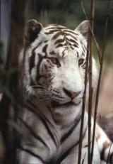 Ron Entius -Wite tijger- Postkaart