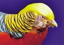 Franz Immoos (1948) -A beautiful bird- Postkaart