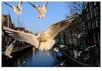 Gerard Schoone -Seagulls in the Red-Light-District, Amsterdam #6- Postkaart