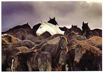 Laurens Aaij -L. Aaij/Een kudde paarden- Poster