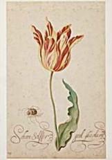 Bartholomeus Assteyn (1607-67)-Tulp met spin- Dubbele Kaart