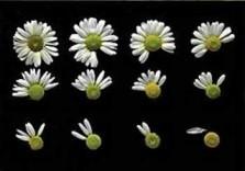 Paul Huf (1924-2002) -Flowerpower no. 36- Dubbele Kaart
