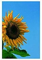 Paul Huf (1924-2002) -Sunflower,VvG- Dubbele Kaart