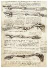 Leonardo da Vinci (1452-1519)  -  Studies van de arm die de bewegingen van de biceps laten zien, - Postkaart -  A13548-1