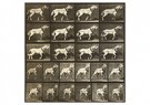 Eadward Muybridge(1830-1904)  -  From Animal Locomotion, An Electro-Photographic Investigatio - Postkaart -  A14226-1