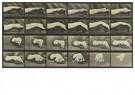 Eadward Muybridge(1830-1904)  -  Dierlijke voortbeweging, plaat - Postkaart -  A14235-1