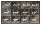Eadward Muybridge(1830-1904)  -  Antelope Trotting, Plate 698 - Postkaart -  A14239-1