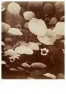 Eugène Atget (1857-1927)  -  Clichy, Église, Arbre De Judée, Planté Par Saint-Vincent-De- - Postkaart -  A24172-1