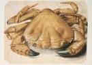 Albrecht Durer (1471-1528)  -  Krab (1494-1495) Eriphia Spinifrons - Postkaart -  A2460-1