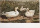 O. de Penne  -  Eenden in het riet - Postkaart -  A6397-1