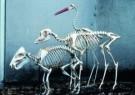 Anoniem  -  Skeletten Z.Am.Zwijn - Postkaart -  A7545-1