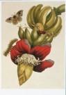 Maria Sybilla Merian(1647-1717 -  M.Merian/Metamorphosis/KB - Postkaart -  A8252-1
