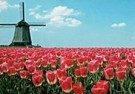 Igno Cuypers  -  Red Tulips & Windmill, Holland - Postkaart -  AU0794-1