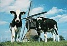 Igno Cuypers  -  Cow-Mill-Cow, Holland - Postkaart -  AU0864-1