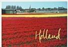 Aad Schenk  -  Red Tulips, Holland - Postkaart -  AU1042-1