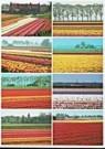 Aad Schenk  -  8 Tulip Fields - Postkaart -  AU1054-1