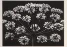 Ruth van Crevel (1926)  -  Crevel, v./ Schermbloem - Postkaart -  B0959-1
