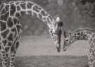 Satoshi Konuma (1961)  -  Giraffes, 1982, from 'The Animal  Portrait' - Postkaart -  B2314-1