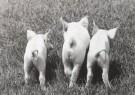 Nancy G. Horton  -  Three Little Pigs - Postkaart -  B2325-1
