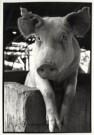 Roel Burgler (1947)  -  Miss Piggy? Waar? - Postkaart -  B2488-1