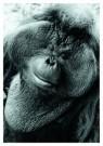 Nancy G. Horton  -  Orangutan. - Postkaart -  B2494-1