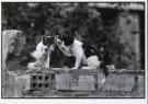 David Hornback (1962)  -  Cat Gossip, Sevilla, 1987 - Postkaart -  B2614-1