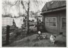 Ge Dubbelman (1955)  -  Hollandse Hoogte / Lage Zwaluwe, De kippen van boe - Postkaart -  B2837-1