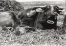 Fu Chun Wang  -  Tending Buffalo - Postkaart -  B2871-1