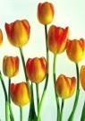 Paul Huf (1924-2002)  -  Golden Tulip II - Postkaart -  C0776-1