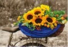 Marianne Cornelissen-Kuyt  -  Sunflowers on the bike - Postkaart -  C10385-1