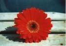 Margot de Korte  -  M.de Korte/Rode Gerbera - Postkaart -  C10395-1
