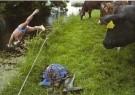 Marcel van den Bergh  -  Terwij zijn koeien toekijken zwemt deze boer - Postkaart -  C11034-1