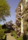 -  Blauwe Regen, Wisteria sinensis - Postkaart -  C11068-1