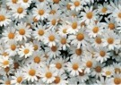 Coquille  -  Daisies, 1990 - Postkaart -  C11290-1