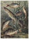 Cornelis Jetses (1873-1955)  -  Schoolplaat van planten en dieren - Postkaart -  C11573-1