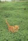 James Barlow  -  Little Tiger - Postkaart -  C4325-1