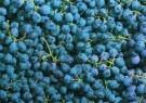 Letizia Volpi  -  Grapes. - Postkaart -  C5094-1